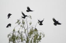 crowintrees