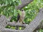 My neighbor, Ms. Hawk
